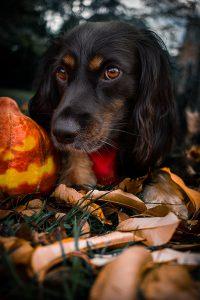 Halloween mit Hund | Skadi | Working Cocker Spaniel | Kleinstadthunde.de