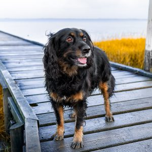 Skadi | Working Cocker Spaniel | Friesland | kleinstadthunde.de
