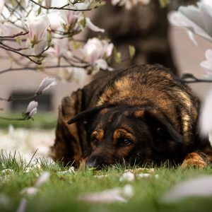 Inuki | Magnolien in Wilhelmshaven | kleinstadthunde.de | paw-prints.de