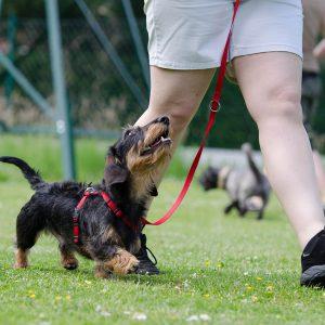 Fußarbeit im Obedience mit einem Dackel