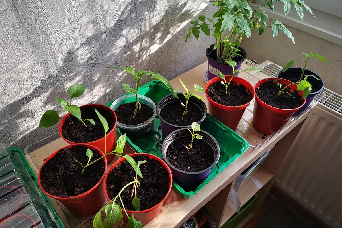 Paprika und Tomaten im Anzuchttopf