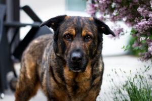 Home Office mit Hund | Tipps | Schäferhund Berner Sennen Mischling | kleinstadthunde.de | Hundeblog