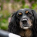 Home Office mit Hund | Tipps | Working Cocker Spaniel | kleinstadthunde.de | Hundeblog