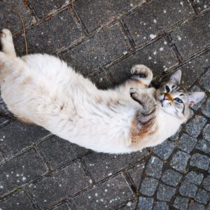 Alvin | Siam Kater | Vermisst | kleinstadthunde.de