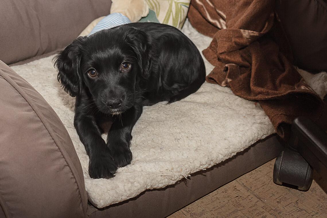 Eve_Working Cocker Spaniel aus Deutschland_kleinstadthunde.de